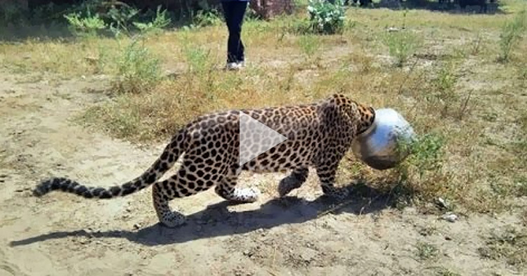 Thirsty Leopard gets head stuck in metal water pot in India