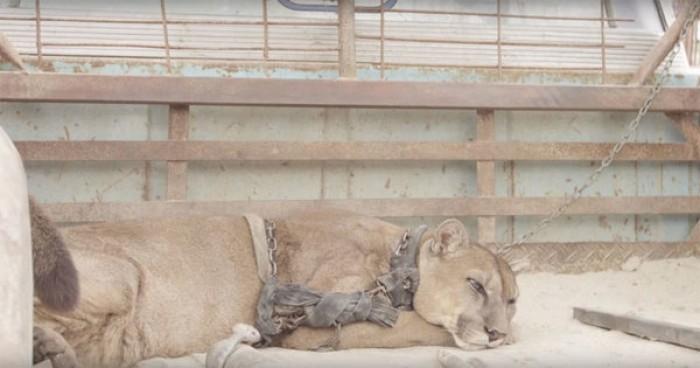 Video: Singa Ini Dikurung Selama 20 Tahun, Setelah Dilepas Begini Reaksinya