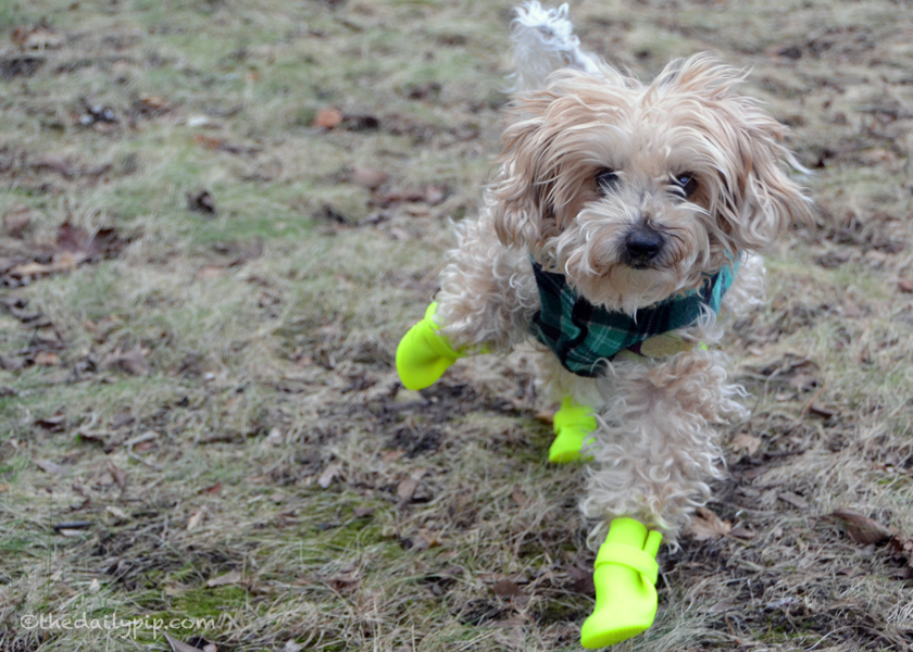 Ruby learns to run in dog boots