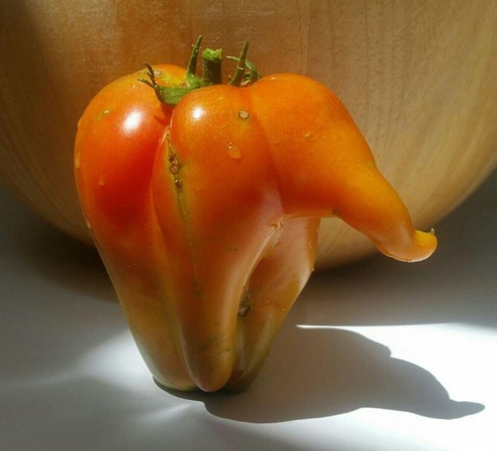 The most interesting in this Bulgarian pepper, reminiscent of the shape of an elephant, is that it is a tomato