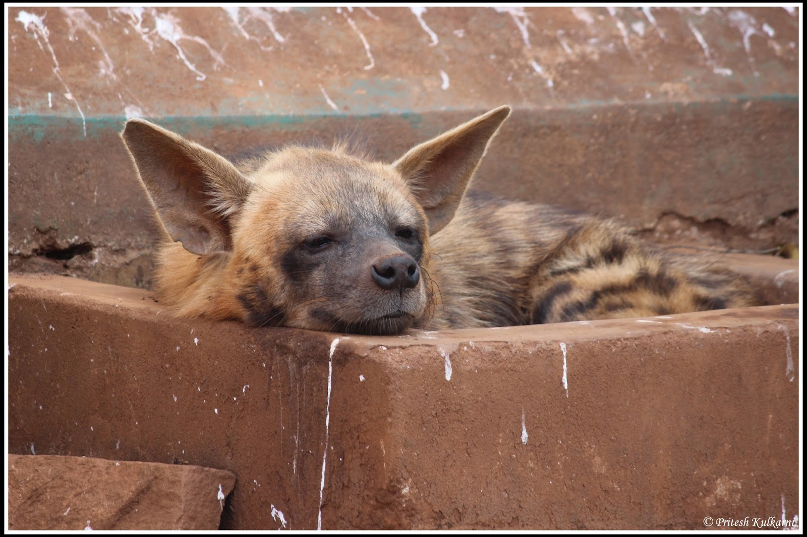 Striped Hyena at Shimoga