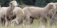 jenis-jenis domba penghasil daging dan bulu