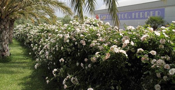 Vivero de rosales en valencia guia de jardin for Viveros de jardin