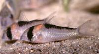 Jenis Ikan Corydoras adolfoi