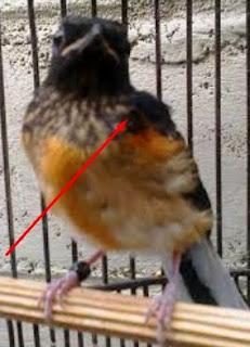 Burung murey batu anakan jantan.