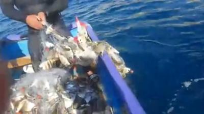 Δεν μπορούν να σηκώσουν τα δίχτυα από το βάρος: Ψάρια με το τσουβάλι video...