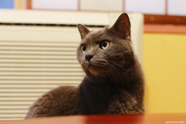 猫:保護猫カフェ ネコリパブリック 猫グレー
