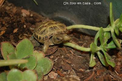 Tortuga rusa - Mantenimiento de crías en cautividad