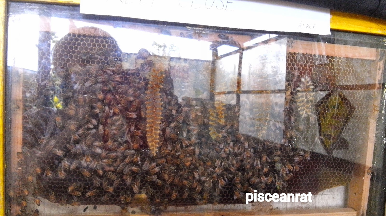 albees, bee, kingdom, honeycomb, honey, paradizoo,