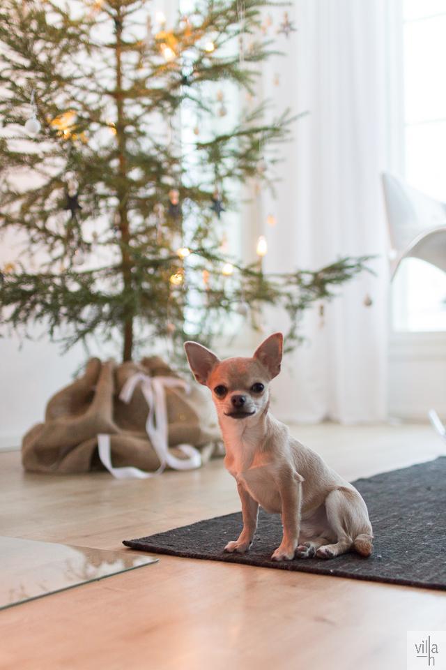joulu, joulukuusi, chihuahua