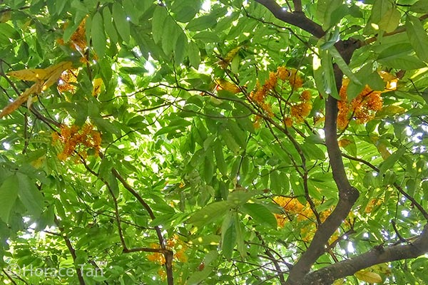 Butterflies of singapore larval host plant for butterflies yellow yellow saraca is native to the southeast asia region but it is also widely cultivated in a number of tropical and sub tropical countries for its attractive mightylinksfo