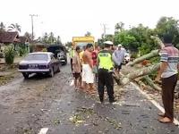 Pohon Tumbang di Jalinbar Pugung Berhasil Dievakuasi