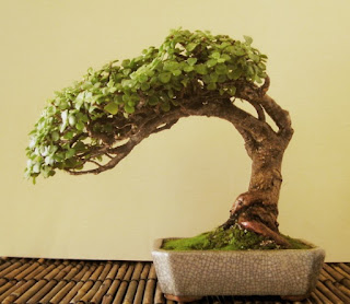 anthemion flowers bonsai