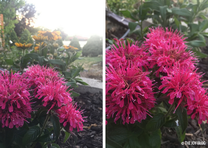 Balmy Rose Bee Balm // A New Perennial Flower Bed / www.thejoyblog.net