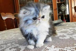 Ciri-ciri Jenis Kucing Persia Flatnose, Beserta Harga dan Cara Perawatannya