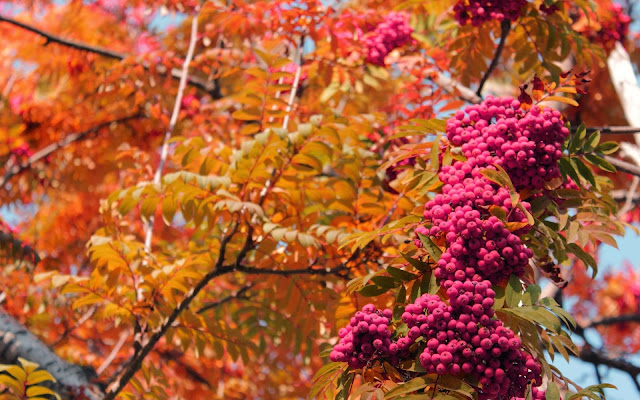 Herfst foto met boom met rode bessen