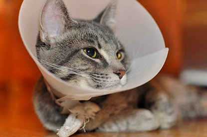 Cat in Elizabethan collar
