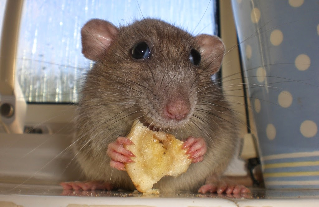 funny mouse eating cheese animals amazing latest