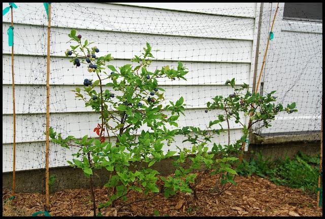 bleuet bleuetier plante jardinage culture marguerite verte blog