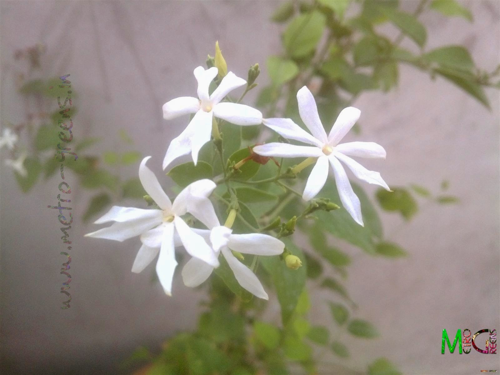 Metro Greens: Some heavily fragrant Juhi blooms