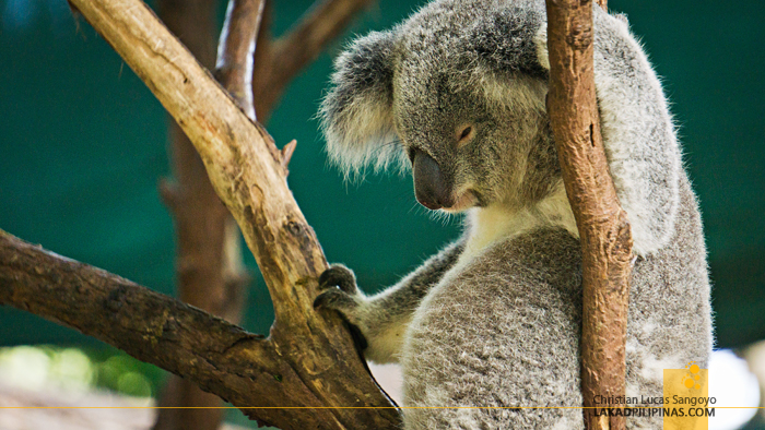 Currumbin Wildife Sanctuary Koala Australia