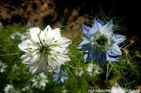 Czarnuszka damasceńska- Nigella damascena