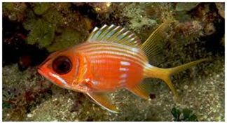 Jenis Ikan Laut Hias Aquarium Squirrelfish
