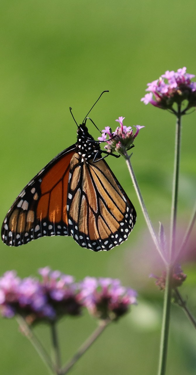 Picture of a monarch on a flower.