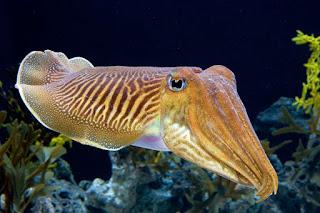 Klasifikasi Hewan Mollusca dan Contoh spesiesnya