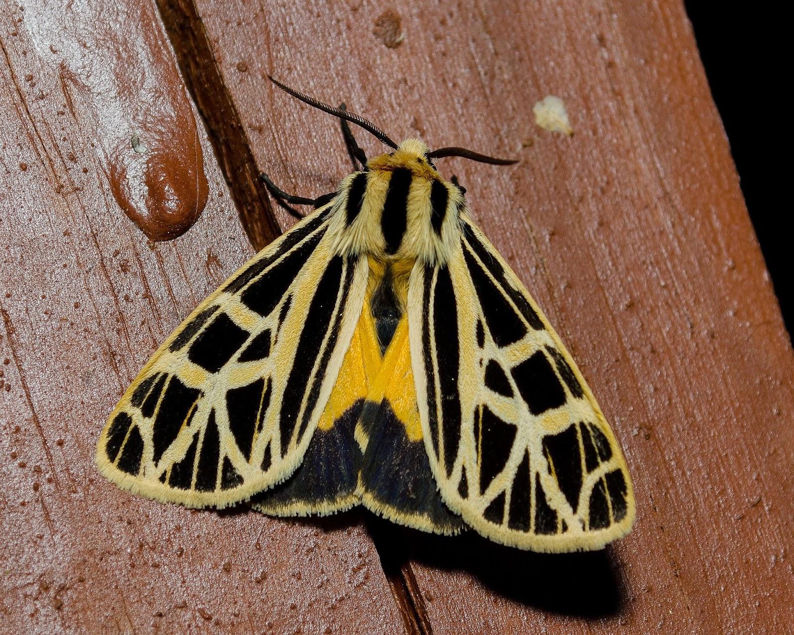 Anna's Tiger Moth, Grammia anna