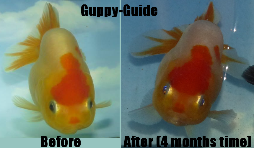 Guppy-Guide: Ranchu - Before and After