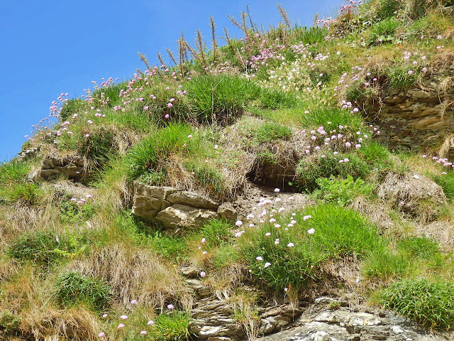 Thrift flowers on Cornwall's cliffs
