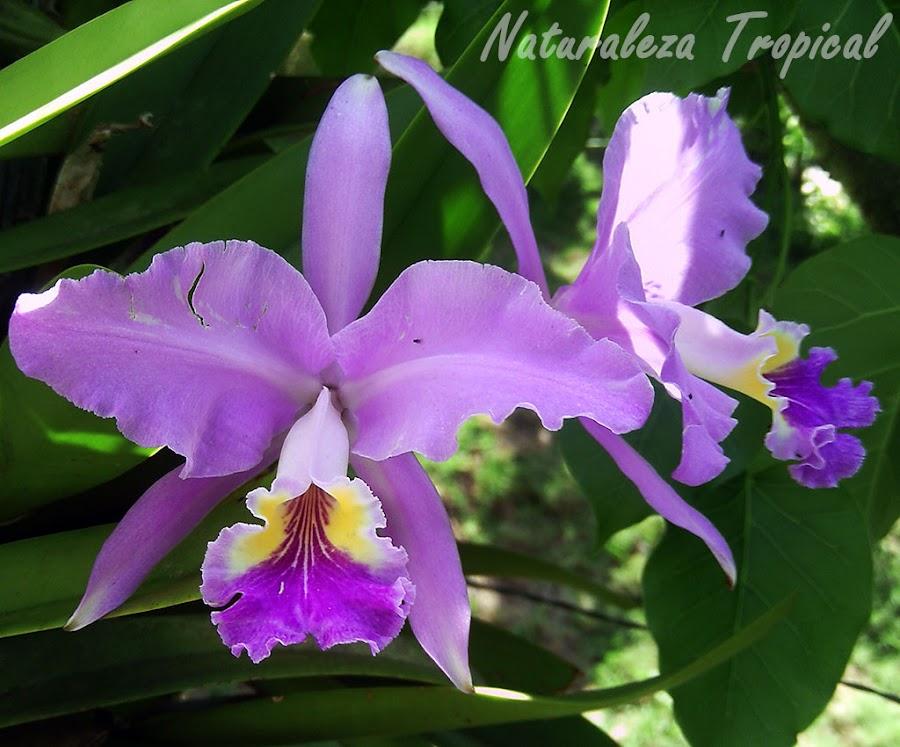 Más fotos de la orquídea Cattleya lueddemanniana