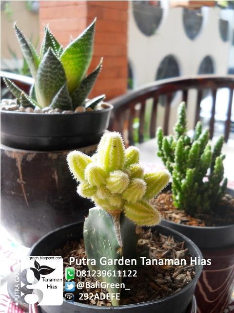 Putra Garden Bali Tanaman Kaktus Mini Unik Untuk Dekorasi