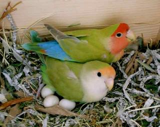 Cara Ternak Lovebird Agar Cepat Bertelur Dengan Sangat Mudah