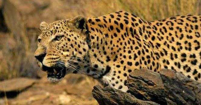 Gambar Foto Hewan kumpulan foto macan tutul