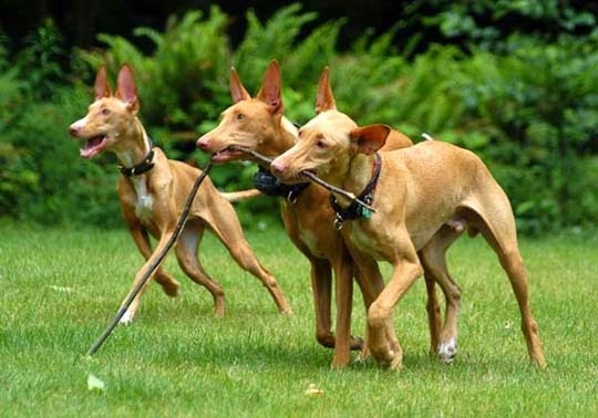 Everything about your Pharaoh Hound