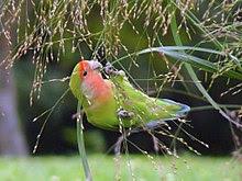 7 Karakter Dasar Burung Love Bird yang Membuatnya Disukai
