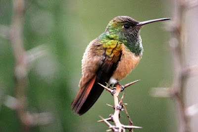 Chestnut bellied Hummingbird