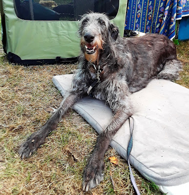 Scottish Deerhound dog at the Scottish Festival in New York.  Dogs of Scotland, Scottish dogs