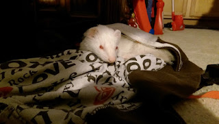 tired sleeping ferret waking up stretching yawn dook adorable pet Colorado