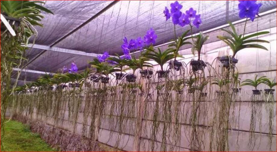 tips cara merawat bunga anggrek paling ampuh  malvorlagen