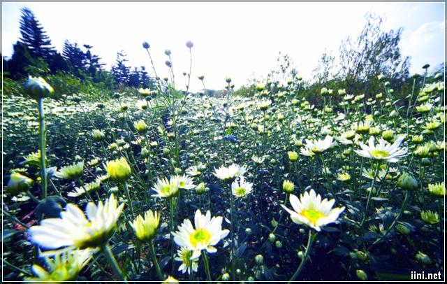 Vườn hoa cúc họa mi đẹp