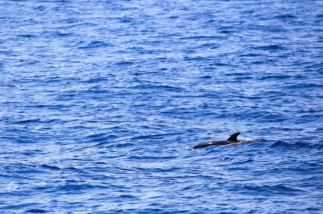 stenelle striate delfini avvistamento cetacei liguria whalewatchliguria