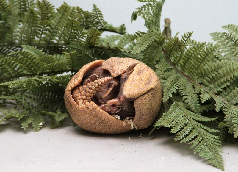 Baby Animals: A rare Southern Three-Banded Armadillo - Pup 10