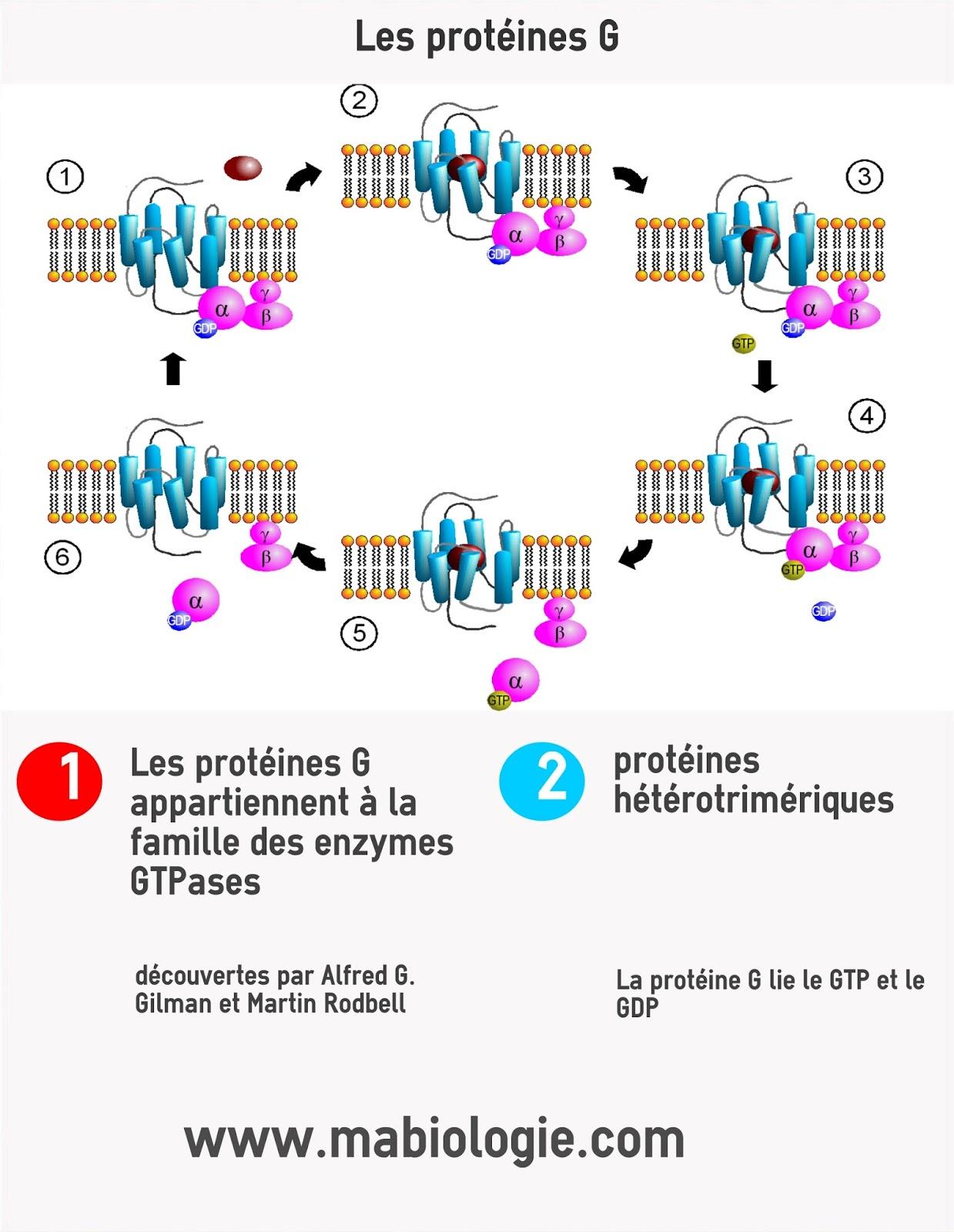 Définition protéines G