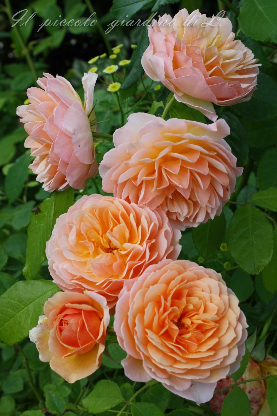 Il piccolo giardino di l una rosa inglese nei toni dell for Rosa inglese