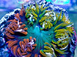 http://www.allfiveoceans.com/2016/12/rock-flower-anemone.html