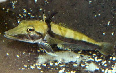 Icefish - Animals That Start With I