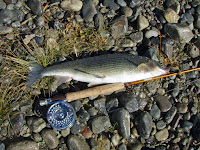 The mountain whitefish is among those dying in large numbers in Montana because of a parasite thriving in slower, warmer streams. (Credit: Wikimedia) Click to Enlarge.